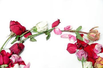 Dry colorful roses on white background