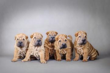 Chinese Shar pei puppies portrait