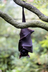 Flying foxes gold resting on a branch hanging