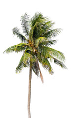 Coconut palm tree, Coco green leaves isolated