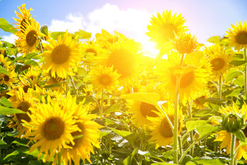 Wall Mural - Sun in sunflower field