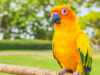 Yellow-red parrot