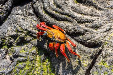 Sally Lightfoot Crab on the Galapagos Islands in Ecuador