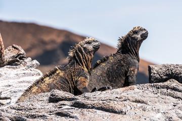 Marine iguana on the Galapagos Island