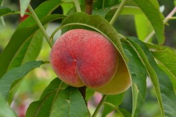 Pfirsiche reifen am Baum