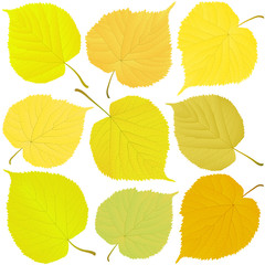 Wall Mural - linden autumn leaves
