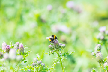 bee on a wild growing thistle flower