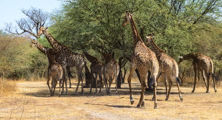 Giraffes of Senegal