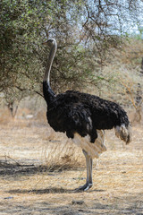 Brainless ostrich near a tree