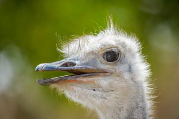Brainless ostrich