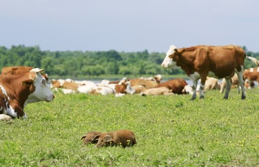 Piglets and cows on the meadow
