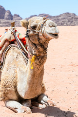 Camel in the dert of Wadi Rum