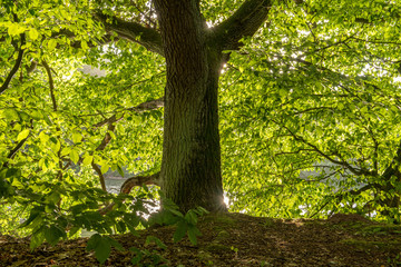 Fotoväggar - Baumstamm mit leuchtendem Laub