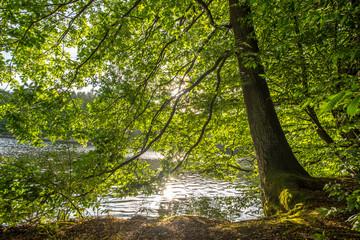 Fotoväggar - sonnendurchfluteter Baum am Seeufer