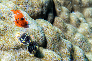 orange and black christmas tree worm