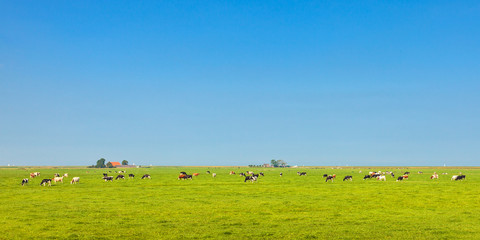 Panoramic image of milk cows in the Dutch province of Friesland