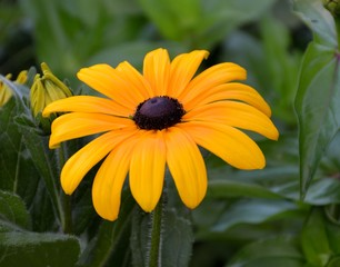 Vibrant Yellow Black Eye Susan Flower
