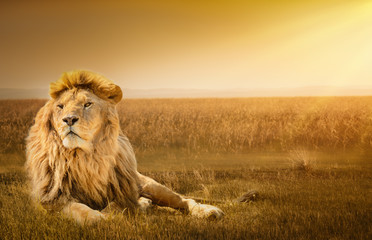 Spoed Foto op Canvas Leeuw Male lion lying on the grass