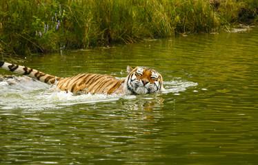 Printed roller blinds Tiger Sibirische tijger neemt een bad.