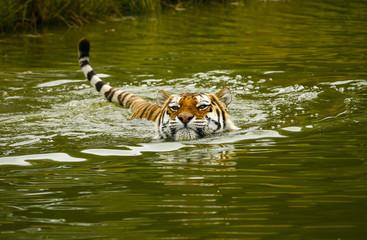 Wall Murals Tiger Siberische tijger zwemt.