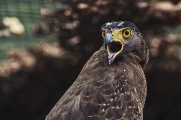 Close up Hawk