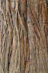 Rinde der Edelkastanie (Castanea sativa)