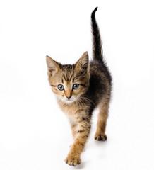 Fanny striped kitten