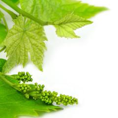 Fototapete - Weintrauben - wine
