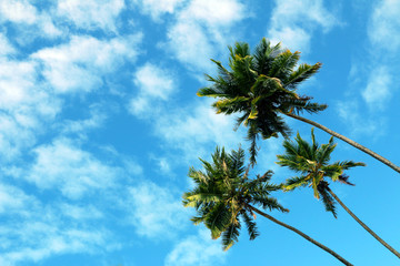 Three high coconut palms looked from down, blue sky and white clouds