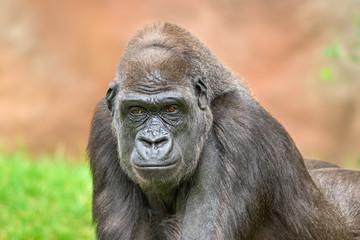 Portrait shot of a big western lowland gorilla