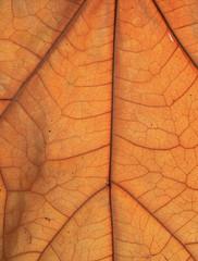 Dry brown leaf texture (teak leaf)