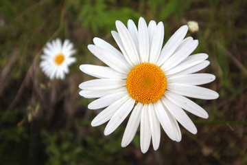 daisy growing in a field