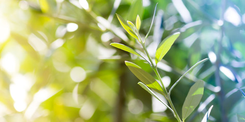 Olive tree, macro photography