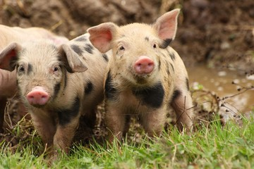 Two funny piglets