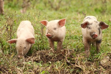 Three piglets