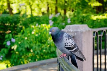 Голубь, сидящий на ограде