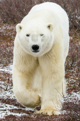 Poster Ijsbeer polar bear approaching