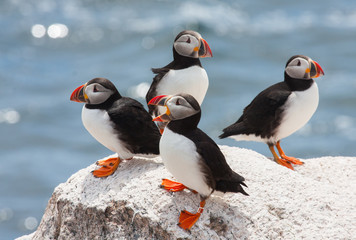 puffins loafing