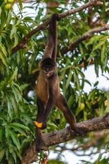 Geoffroy's spider monkey, Ateles geoffroyi, also known as black-handed spider monkey