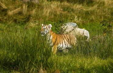 Printed roller blinds Tiger Kleine tijger welp in het hoge gras.