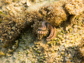 Bristle Worm - Bearded fireworm, Mediterranean Sea
