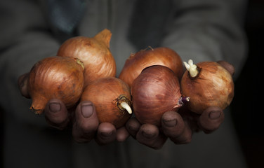 Old woman's hands holding some onions
