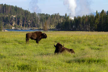 Two adult American Bison with geysers and the Yellowstone River in Yellowstone National Park