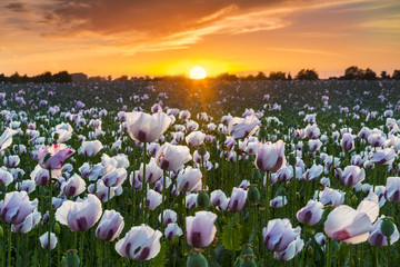 Thousands of white poppies under red skies