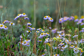 Showy Fleabane wildflowers in Grand Teton National Park in Wyoming