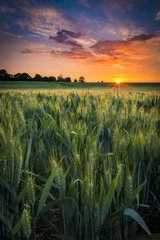 Foto op Aluminium Platteland Sunset over a wheat field