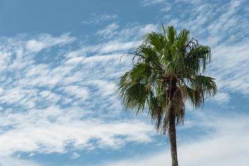 Aerial view palm tree with green leaves against blue sky. Tropical palm plant, white clouds, azur background on sunny day in summer
