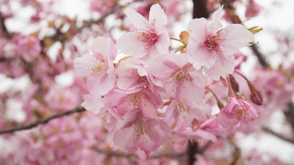 Branch of the blossoming Oriental cherry sakura with pink flowers