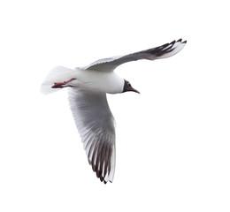 small isolated flying black-headed gull
