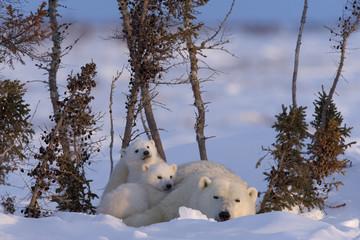 Eisbaerin mit Jungtieren